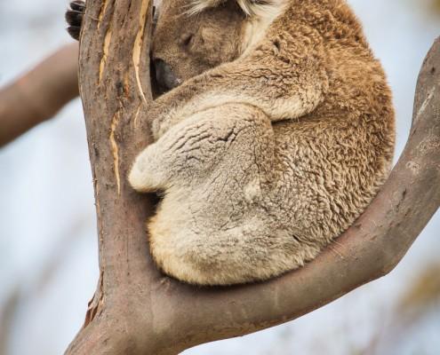 Koala at Cape Otway National Park