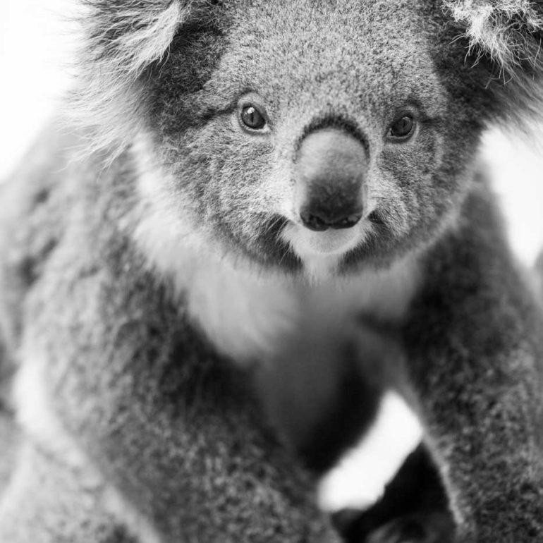 Koala in Cape Otway National Park